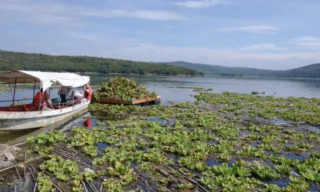 Avanza eliminación del lirio acuático en Yosocuta